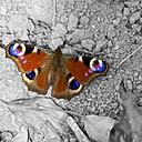 Germany, Rhineland-Palatinate, Hahnstaetten, European Peacock, Inachis io - MHF000299
