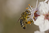 Germany, Bavaria, Honey bee, Apis, collecting pollen from flowers - YFF000108