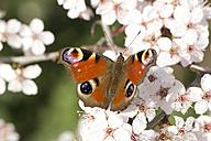 Germany, Bavaria, European Peacock, Inachis io, close up - YFF000110