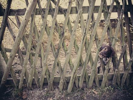 Dog looking through garden fence - MJ001004