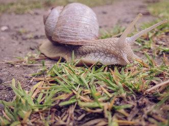 Snail, Crustacean, Mollusk, Saxony, Germany, Helix pomatia, land snail - MJF001024