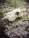 Animal skulls, goat skull, skulls, bones - MJF001023