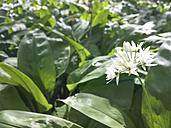 Wild garlic, spring herbs, Saxony, Germany, Allium ursinum, Ramsons flower - MJF001052