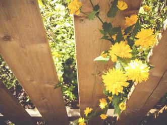 Flowers, spring, garden fence, Saxony, Germany, Kerria, gold florets, Kerria japonica - MJF001039
