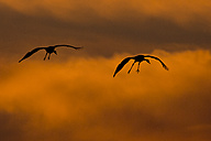 Germany, Mecklenburg-Western Pomerania, Common Cranes, Grus grus, at sunrise - HACF000070