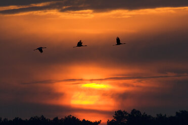 Germany, Mecklenburg-Western Pomerania, Common Cranes, Grus grus, at sunrise - HACF000072