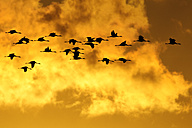 Germany, Mecklenburg-Western Pomerania, Grey geese, Anser anser, at sunrise - HACF000079