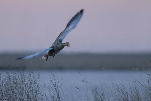 Germany, Schleswig-Holstein, Grey goose, Anser anser, at sunset - HACF000081