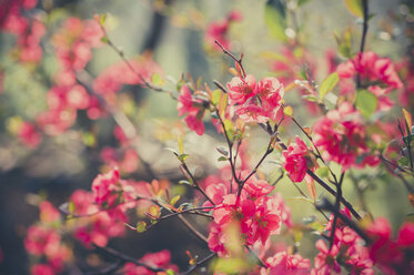 Blooming Japanese Quince - MJF000987
