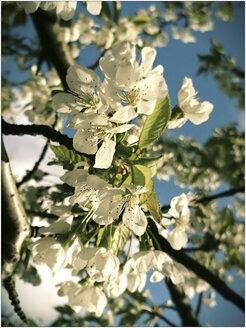 Cherry Blossom, Spring, Germany, North Rhine-Westphalia, Minden - HOHF000742
