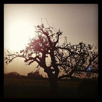 Apple tree, spring, Germany, North Rhine-Westphalia, Minden - HOHF000744