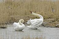 Germany, Schleswig-Holstein, Mute swans, Cygnus olor - HACF000093