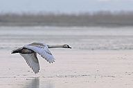 Germany, Schleswig-Holstein, Mute swan, Cygnus olor, flying, young animal - HACF000096
