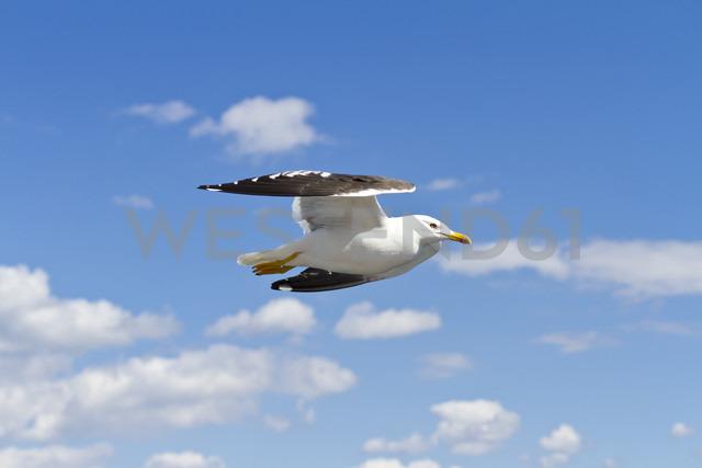 Scandinavia, Norway, Oslo, Seagull, Larus, flying - JFEF000399