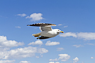 Scandinavia, Norway, Oslo, Seagull, Larus, flying - JFEF000399