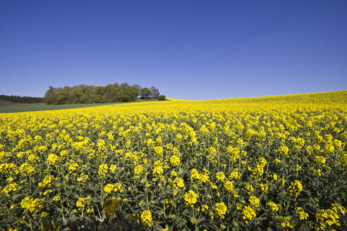 Rape field in front of trees and blue sky - YFF000130