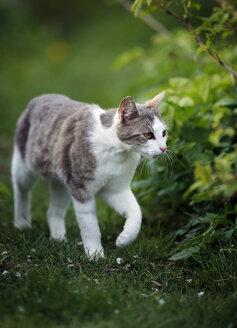 Germany, Baden-Wuerttemberg, Grey white tabby cat, Felis silvestris catus, walking on meadow - SLF000402