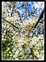 Flowers of sweet cherry (Prunus avium), Tree, Twig, Branch, Spring, Germany - CSF021297