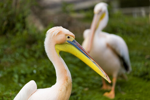 Germany, Mecklenburg-Western Pomerania, Nienhagen, Eastern white pelicans, pelecanus onocrotalus, at zoo - KLRF000026