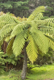 New Zealand, Chatham Island, Tree ferns - SH001224