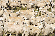 New Zealand, Chatham Island, Waitangi, Flock of sheep - SH001210