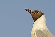 Germany, Schleswig-Holstein, Black-headed gull, Chroicocephalus ridibundus, Portrait - HACF000101