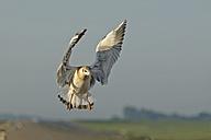 Germany, Schleswig-Holstein, Black-headed gull, Chroicocephalus ridibundus, young animal, flying - HACF000105