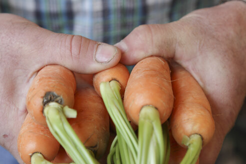 Hands holding carrots - SGF000628
