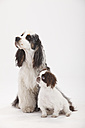 Portrait of American Cocker Spaniel and mongrel puppy in front of white background - HTF000434