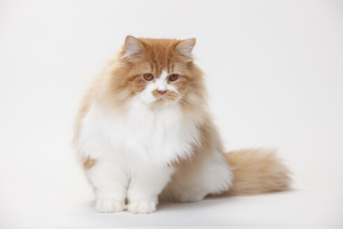 Portrait of British Longhair tomcat sitting in front of white background - HTF000437