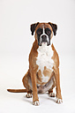 Portrait of German Boxer in front of white background - HTF000451