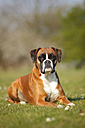 Portrait of German Boxer lying on a meadow - HTF000457
