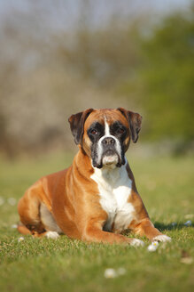 Portrait of German Boxer lying on a meadow - HTF000457