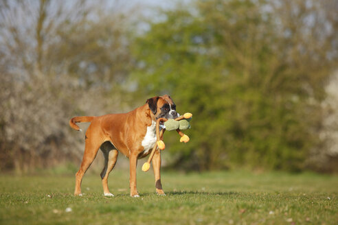 Portrait of German Boxer playing with a toy on a meadow - HTF000462