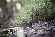 Germany, Baden-Wuerttemberg, Garden thyme, Thymus vulgaris, in garden - SBDF000846