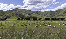 New Zealand, sheeps on grazing land - STDF000047