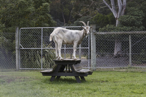 New Zealand, goat standing on table at zoo - STD000050