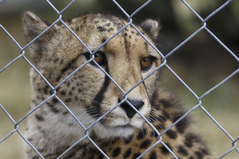 New Zealand, portrait of cheetah behind mesh wire fence - STD000054