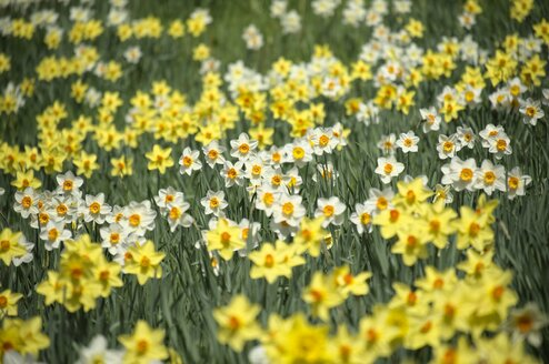 Germany, Constance district, Daffodils, Narcissus, on meadow - ELF000944