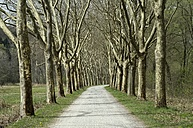 Germany, Baden-Wuerttemberg, Constance district, Avenue of plane trees, Platanus - ELF000950