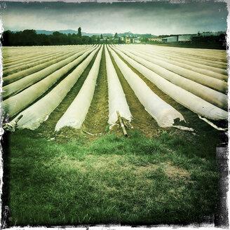 Asparagus field, Emmendingen, Baden Wuerttemberg, Germany - DRF000673