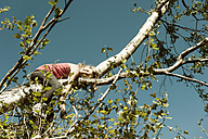 Girl lying on branch of a tree - HHF004798