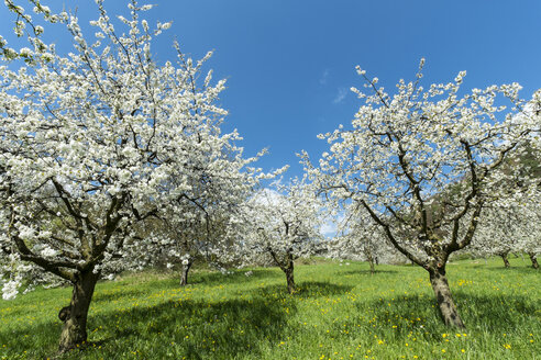 Germany, Baden-Wuerttemberg, Constance District, Meadow with scattered fruit trees, Apple trees, Malus - ELF000956