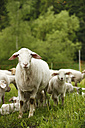Domestic sheep, Ovis orientalis aries, and lambs on meadow - SLF000419