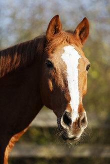 Germany, Baden-Wuerttemberg, Hohenlohe, Warmblood, Equus ferus caballus, Sorrel, Gelding, Portrait - SLF000434
