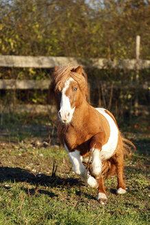 Germany, Baden-Wuerttemberg, Hohenlohe, Minishetty pony, Equus ferus caballus, Skewbald horse, Stud galloping - SLF000436