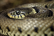 European Grass Snake, Natrix, natrix - MJOF000045