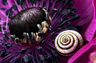 Detail of pink anemone with snail-shell on petal - MJOF000058