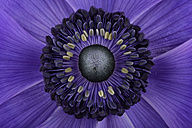 Detail of violet anemone - MJOF000007
