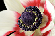 Detail of red-white anemone in front of white background - MJOF000021